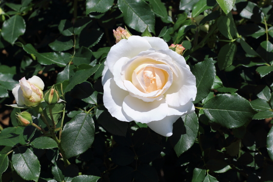 コスモスは花径が12cm程の大輪花