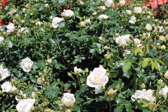 コスモスは5輪前後の房咲きになります