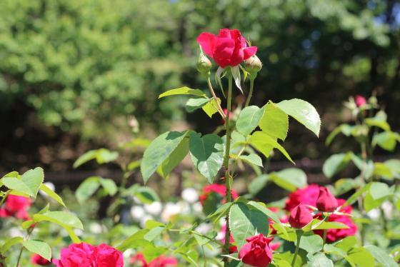 春から秋のシーズンを通して咲く品種