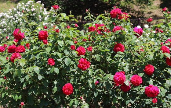 オースチン社作出のバラ