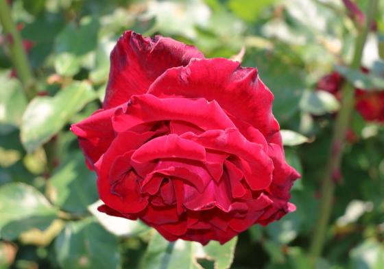 ベルサイユのバラはハイブリッドティー系統