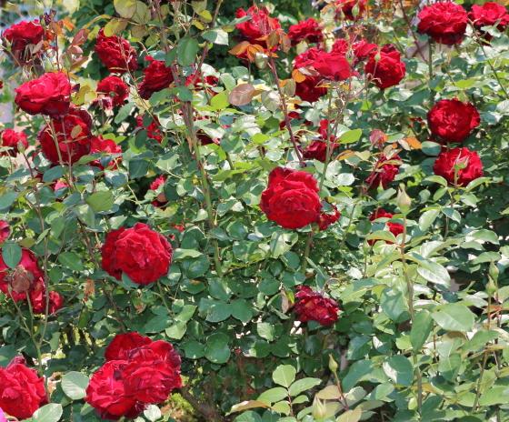 ベルサイユのバラは大輪四季咲き品種です