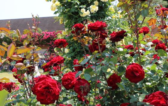 ベルサイユのバラは半直立性の樹形