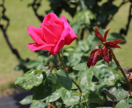 マリアカラスの花色は濃いローズ色です
