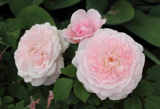 ミスアリスはロゼット咲きです
