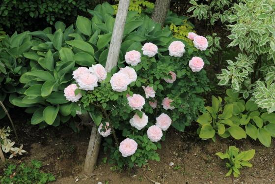 ミスアリスは中輪サイズのバラ