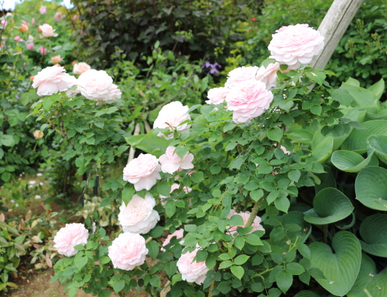 ミスアリスは四季咲き性です