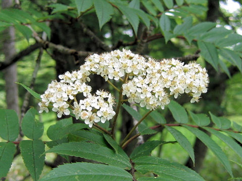 七カマドは白色の小花を咲かせる