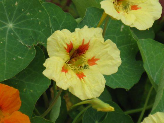 ナスタチウムは6~10月が開花期