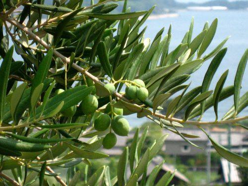 オリーブは常緑高木です
