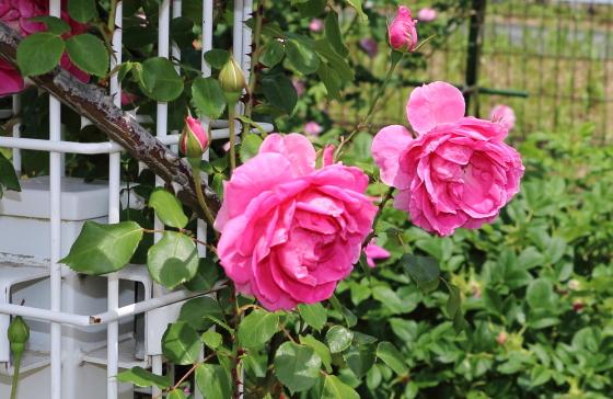 パレードはロゼット咲きの花形になる