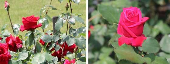 バラの画像2枚組