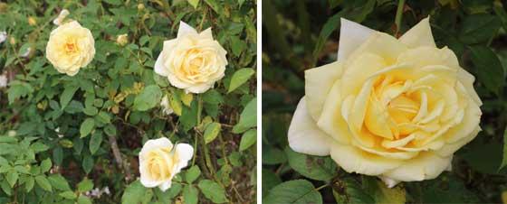 バラの2枚組画像