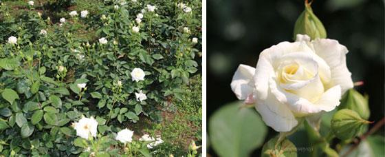 バラの2枚組