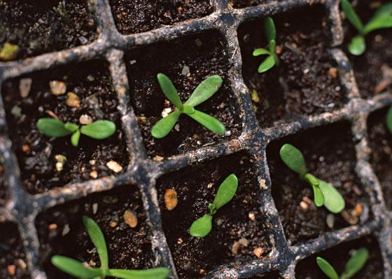 セルトレーで苗を育てる
