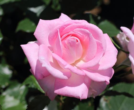 ストロベリーダイキリは四季咲き