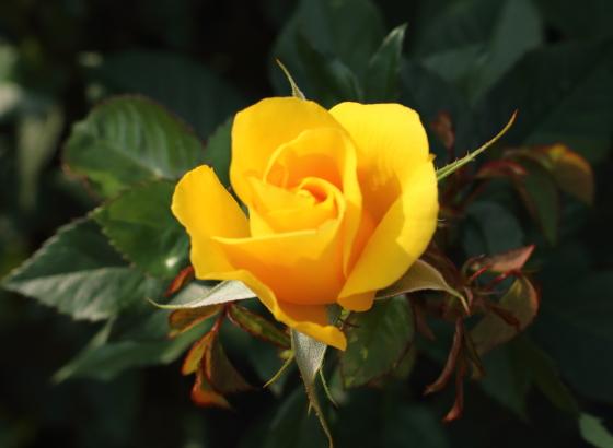 黄色の中輪咲き
