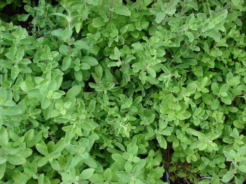 スイートマジョラムは長い茎の先にコブがつく