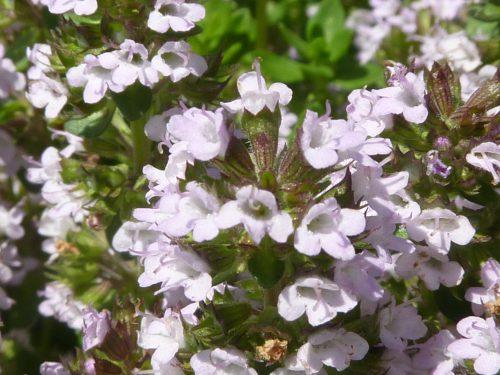 タイムは開花期は5~7月頃