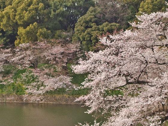サクラの咲く風景 千鳥ヶ淵の桜