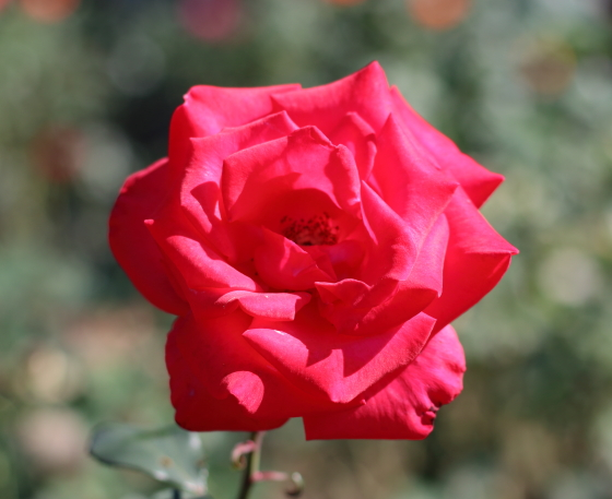 タイムレス98'はローズピンク色のバラ