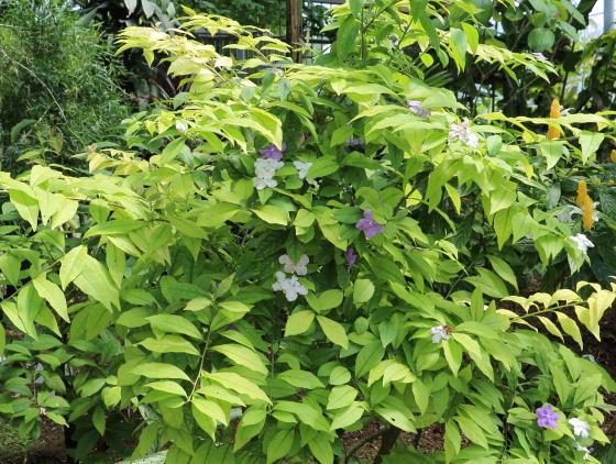 ニオイバンマツリはナス科の植物