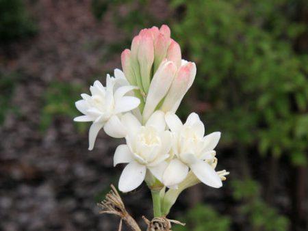 チューベローズは乳白色の花を咲かせる