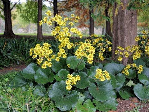ツワブキは黄色い花を咲かせる