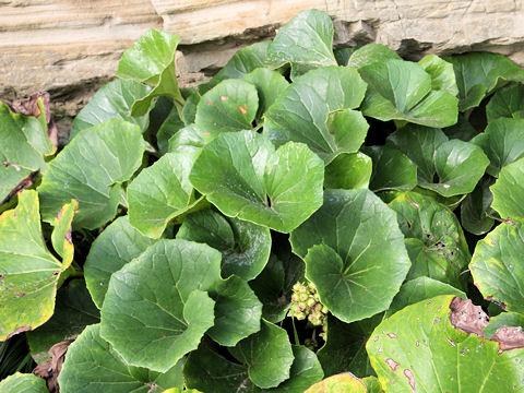 ツワブキは江戸時代から栽培されている