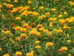 ベニバナは一年草です