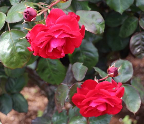 ユーロピアーナは赤色のバラ
