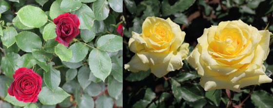 ブッシュローズのバラ達 風景
