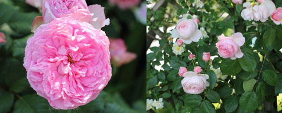 シュラブ系統のバラが満開の風景