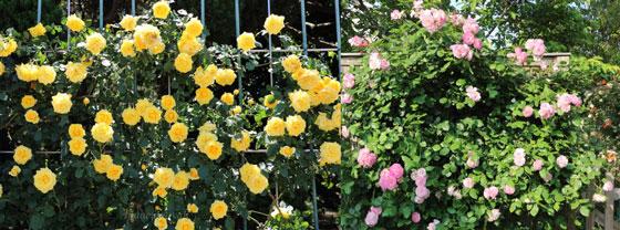 ハーブの園芸・作業 つるバラ
