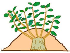 取り木 盛り土で増やす