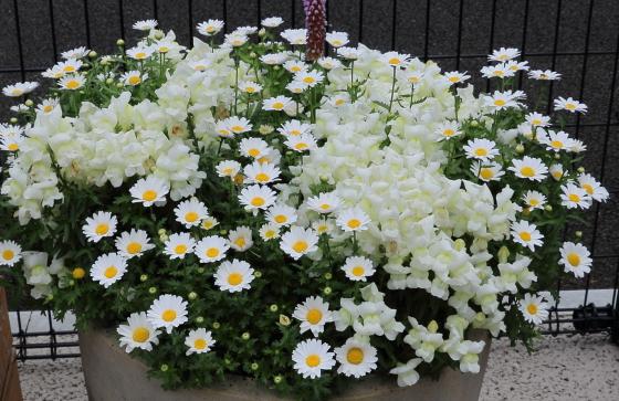 マーガレットは春の花です