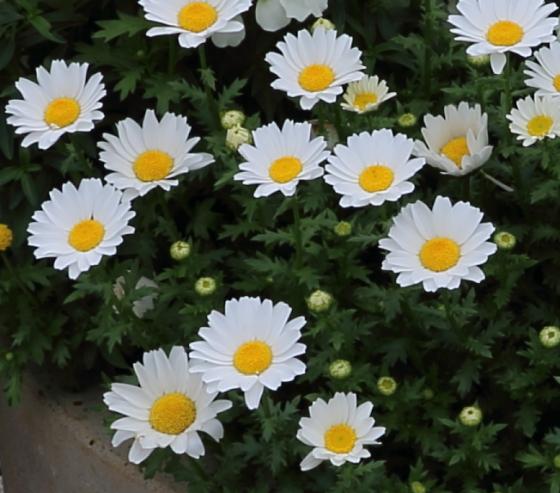 マーガレットは白色の花