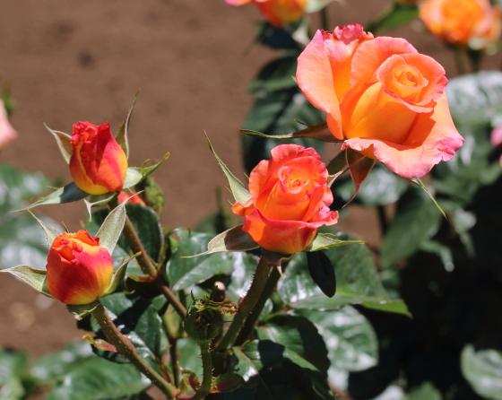 モナリザは樹勢が強いですね。次々と花をつけます