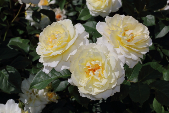こちらの花はムーンスプライト本来の平均的な色合い