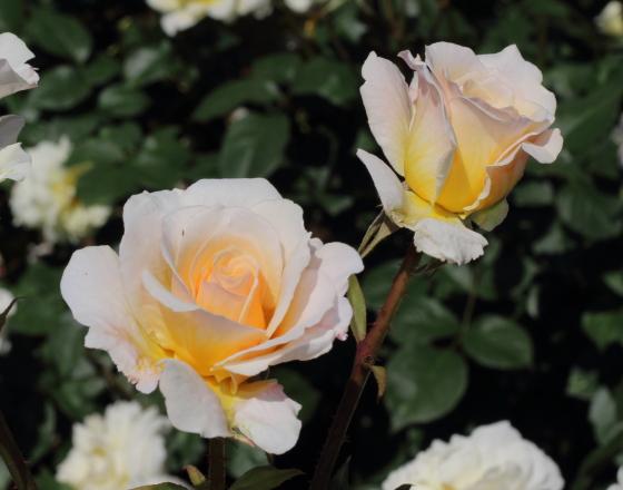 ツボミから開花した時は弁数が少ないです