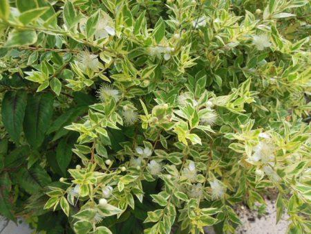 マートルは梅に似た白色の花を咲かせる