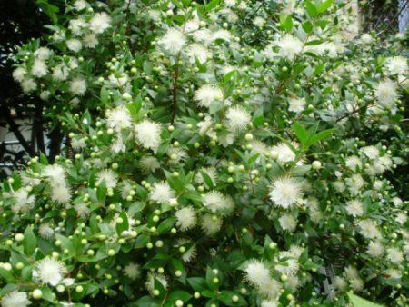 マートルは長いおしめが美しい花