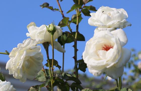 ユキアサンは四季咲き性
