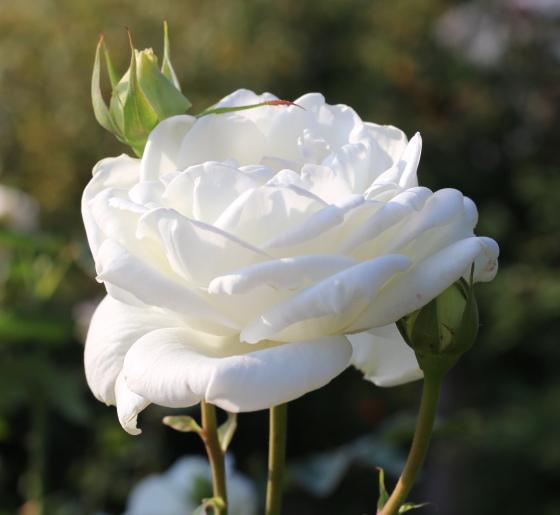 ユキ サンは純白のバラです