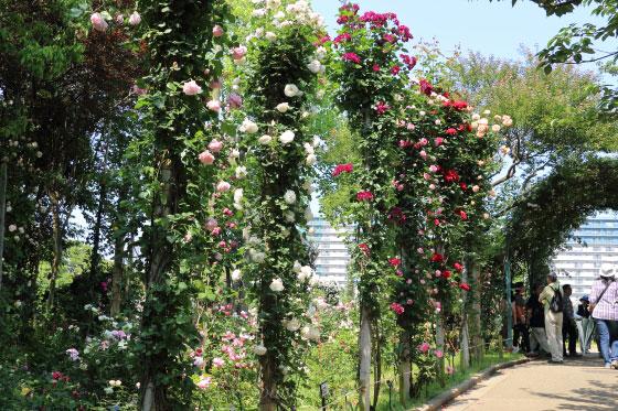 京成バラ園のつるバラ