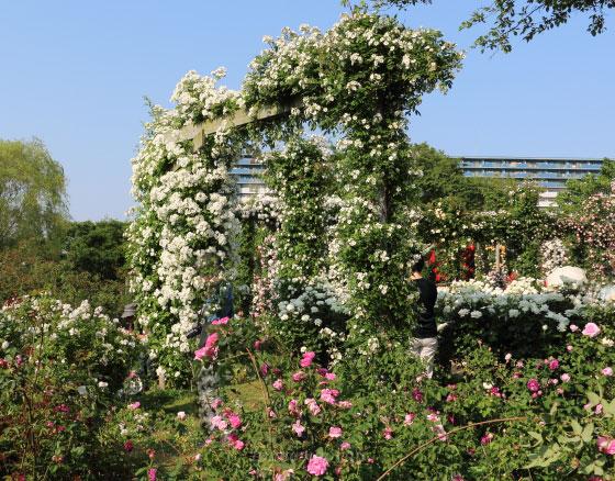 春の京成バラ園の風景