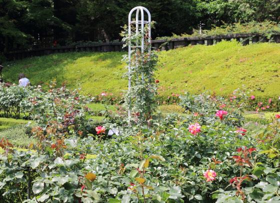 旧古河庭園のつるバラがある風景