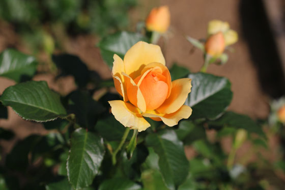 アンバークィーンはオレンジ色のバラ