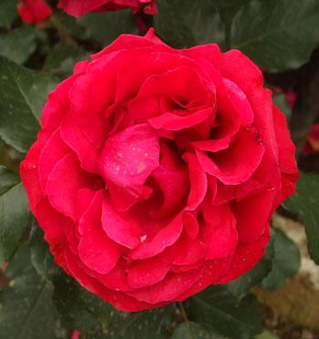 アメリカーナは赤色バラ