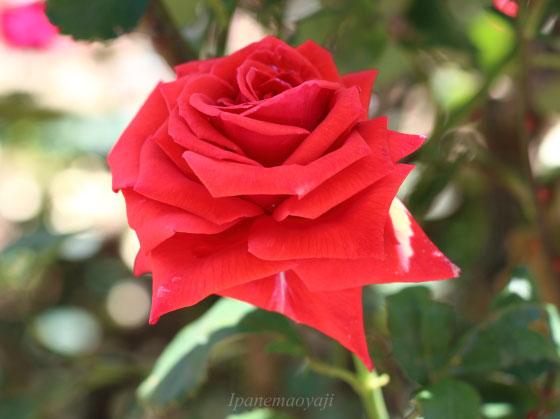 バッカラは赤色のバラ